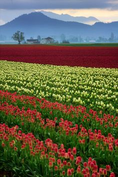 The heart of the Skagit Valley tulip fields in Mt Vernon, Washington Beautiful World, Beautiful Places, Beautiful Pictures, Champs, Tulip Fields, Field Of Dreams, Scenic Photography, Green Nature, Daffodils