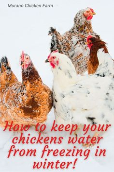Does it freeze where you live? How backyard chicken keepers prevent the flocks water from freezing in winter. Don't leave your chickens stuck without water, use one of these tricks to keep the ice away. What Can Chickens Eat, Keeping Chickens, Pet Chickens, Raising Chickens, Chickens Backyard, Chicken Eating, Chicken Feed, Canned Chicken, Chickens In The Winter