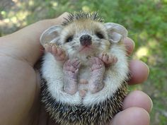 I have only ever seen a hedgehog from the top side