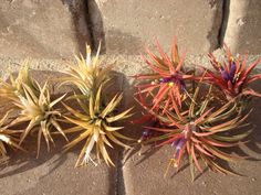 WHOLESALE Air Plant Iona Mix of 25 by TwistedAcres on Etsy