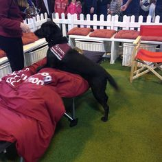Hearing dogs for deaf people - giving great demos of their dogs in action - here waking up their owner! @HearingDogs