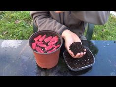 The Easiest Way To Germinate A Supermarket Strawberry (f . Strawberry Box, Strawberry Plants, Raspberry, Grow Strawberries, Eco Garden, Diy Garden Projects, Edible Flowers, Fresh Green, Smoothie Bowl