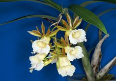 Résultats Google Recherche d'images correspondant à http://www.orchid-nord.com/g_page/Galeandra_leptoceras/Galeandra-leptoceras3.jpg