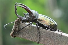 120303 Rhino Beetle Chalcosoma mollenkampi