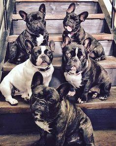 ♥️ #frenchiepuppy #frenchbulldogpuppy #brindlefrenchbulldog #brindlefrenchie #frogdog #frenchie