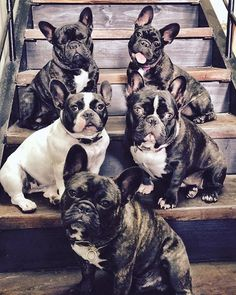 ♥️ #frenchiepuppy #frenchbulldogpuppy #brindlefrenchbulldog #brindlefrenchie #frogdog #frenchie