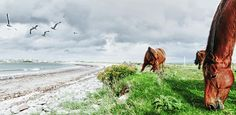 """Wild horses grazing in """"the kingdom"""" - Co.Kerry, Ireland. I was very lucky they let me get so close..."""