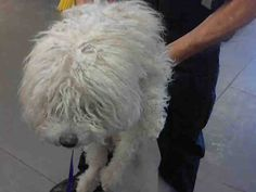 SAFE --- OPCA Shelter Network Alliance  ·     Phoenix, AZ ~ Animal ID #A3565201 Maricopa County Animal Care & Control West Valley Animal Care Center  ‒ I am a Male, White Miniature Poodle mix. The shelter thinks I am about 4 years old. Maricopa County Animal Care & Control West Valley Animal Care Center ‒ (602) 506-7387 https://www.facebook.com/OPCA.Shelter.Network.Alliance/photos/pb.481296865284684.-2207520000.1422355869./766314723449562/?type=3&theater