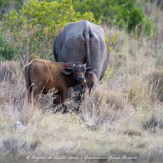 2019 Highlight | Gondwana saw several buffalo calves born this year as well as the introduction of a new herd of 12 buffalo. 📸@raqueldecastromaia . . . #gondwanagram #gondwanagr #gondwanagamereserve #safari #december #luxurytravel #instatravel #sustainabletourism #sustainabletravel #travel #travelphotography #meetsouthafrica #southafrica #gardenroute #big5 #safari #big5safari #decemberongondwana #2019highlights #buffalo #buffalocalf