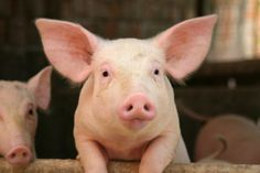 NY Times Blackens Faces of Pigs To Avoid Offending Muslims In Malaysia…   Weasel Zippers