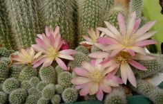 Rebutia fabrisii white x pink flowers.
