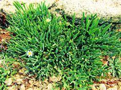 ΚΡΙΤΑΜΟ Herbs, Plants, Herb, Plant, Planting, Planets