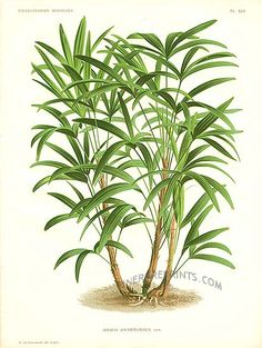Antique print: picture of Lady Palm Tree - Rhapis kwamwonzick (double sized, no…
