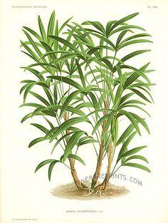 Antique print: picture of Lady Palm Tree - Rhapis kwamwonzick (double sized, no fold)