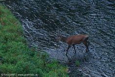 """Wo ist der Hirsch? - Diese Frage stellt sich der aktuelle NP Thayatal Blogbeitrag: http://blog.np-thayatal.at/wo-ist-der-hirsch/ Hie und da lässt """"er"""" sich im Thayatal blicken, warum nur hie und da, das beantwortet Nationalpark-Förster Wolfgang Riener im Blog. Außerdem erfahrt ihr, was für Rotwild im Winter besonders wichtig ist, warum nicht jeder Verbiss schlecht ist und wie die Geweihträger früher lebten. Nicht verpassen http://blog.np-thayatal.at/wo-ist-der-hirsch/"""