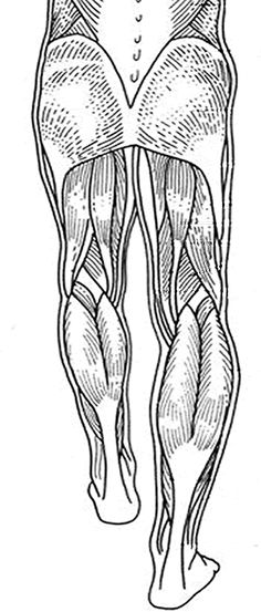 For Labeling Muscles Of The Back Legs