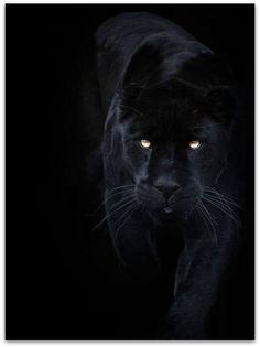 A black panther is typically a melanistic color variant of any Panthera species. Black panthers in Asia and Africa are leopards (Panthera pardus). Black panthers in the Americas are black jaguars (Panthera onca). Black Animals, Animals And Pets, Cute Animals, Puma Animal Black, Wild Animals, Black Jaguar Animal, Black Puma, Black Panthers, Black Tigers