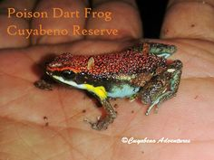 This little beauty is a Ruby Poison Dart Frog, found from the Cuyabeno Reserve. Poison Dart Frogs are endemic to humid, tropical rain forests of Central and South America.