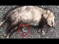 Saving Baby Possums From Their Passed Away Mom In The Street - YouTube Baby Possum, Passed Away, Animal Welfare, Wild Hearts, Livestock, Wildlife, Mom, Pets, Street