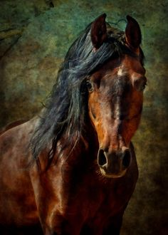 Daily Dose - February 13, 2017 - Number 5 in a Series - Arabian Stallion 2017©Barbara O'Brien Photography