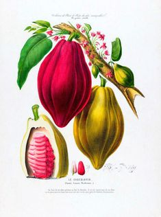 antique french botanical print cacao chocolate fruit illustration digital download