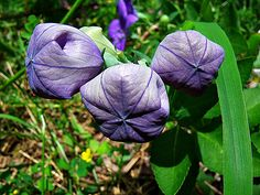 A Gardener's Mystery: The Balloon Flower
