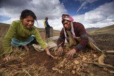 A photo of farmers harvesting potatoes in Pampallacta, Peru.          ..www.worldfooddayusa.org