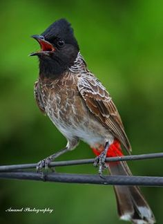 Bird 110 - ಕೆಂಪು ಬಾಲದ ಪಿಕಳಾರ / Red-vented Bulbul / Pycnonotus cafer  https://en.wikipedia.org/wiki/Red-vented_bulbul http://www.galvbayinvasives.org/Guide/Species/PycnonotusCafer http://www.biosecurity.govt.nz/pests/red-vented-bulbul http://identify.whatbird.com/obj/1144/_/Red-vented_Bulbul.aspx
