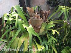 Helecho Cuerno de Alce, género Platycerium