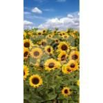 Wall Mural Of  sunflowers With Blue Sky Discounted Retail $123 Wall Picture