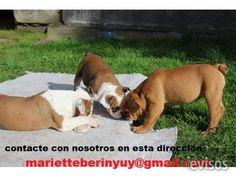 Bulldog inglés cachorros  Hembra y Macho con pedigree. Hijos y Nietos de campeones internacionales. 12 y 11 meses.Super ...  http://mexico-city.evisos.com.mx/bulldog-ingles-cachorros-id-599277