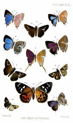 File:IndianButterflies2Purkiss1887.jpg