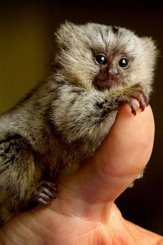 Abandoned Baby Marmoset monkey being hand raised by Ben Britton of Wild Animal Encounters after its mother ran out of milk Marmoset Monkey, Pygmy Marmoset, Tiny Monkey, Cute Monkey, Cute Baby Animals, Animals And Pets, Funny Animals, Baby Squirrel, Baboon