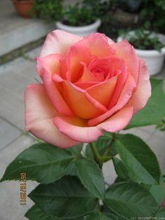 Fantasia Mondiale ~ Hybrid Tea Rose