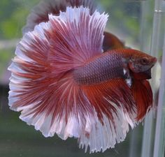Halfmoon Betta Auctions - Mon May 25 2020 Colorful Fish, Tropical Fish, Beta Fish, Freshwater Aquarium Fish, Siamese Fighting Fish, Halfmoon Betta, African Cichlids, Beautiful Fish, Exotic Fish