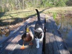 Cat and duck going for a stroll together