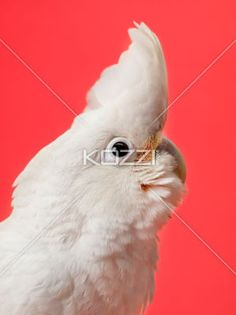 adorable white parrot - Close-up shot of white parrot on red background