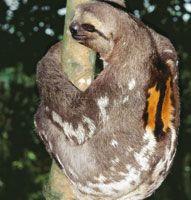 Los perezosos de tres dedos, machos, se diferencian de las hembras por tener una mancha naranja en el lomo.