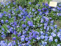 Aloysia tripilla. Arbusto que alcanza hasta 2 m de altura y hasta 4 en zonas más cálidas. Hojas en verticilos de tres, de olor a limón, sésiles o cortamente pecioladas, lanceoladas, margen entero o dentado, envés con abundantes punteaduras glandulares. Sus flores de color violeta pálido o lila, y crecen en ramilletes.