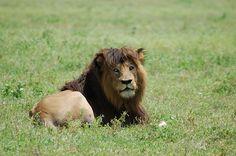 Lions in Ngorongoro Crater, Tanzania