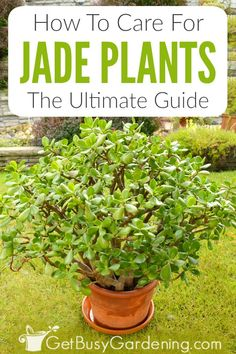 Jade Plant Care Tips: How To Care For A Jade Plant Jade plants are a perfect intro to succulents, in Jade Succulent, Succulent Gardening, Succulent Plants, Gardening For Beginners, Gardening Tips, Indoor Gardening, Container Gardening, Jade Plant Care, Big Indoor Plants