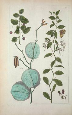 Locupletissimi Rerum Naturalium Thesauri Accurata Descriptio, et Iconibus Artificiosissimis Expressio, per Universam Physices Historiam, Albertus Seba, 1734.
