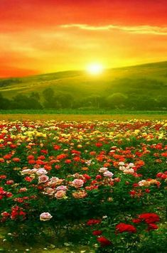 Beautiful shot of a field of flowers with the sun just behind a hillside Sunrise Sunset Dunno Can t find a source for this one Beautiful though Wonderful red and orange colors in the sky Love the trees in the background too Beautiful Nature Pictures, Amazing Nature, Nature Photos, Beautiful Landscapes, Beautiful World, Beautiful Gardens, Beautiful Flowers, Beautiful Sunrise, Nature Wallpaper