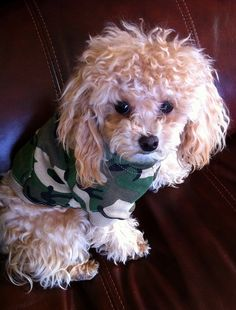 Family friends of mine have a sweet sweet teacup poodle. I've decided that someday I will have one as my lapdog.