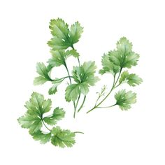 watercolor basil & coriander on Behance