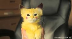 Oh snap! It's a kitten Pikachu !!! My heart just stopped. I want it. To eat. NO! Bad Clare! To LOVE. I want it to love. Yes. #Mine.
