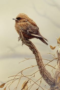 Duskywood Swallow by Christopher Pope