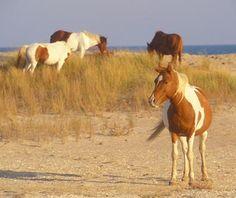 North Star, Half Arabian Stallion