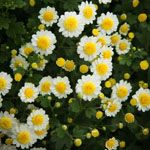 Rome Chrysanthemum Garden Mum, Garden Cushions, Rome, Bloom, Chrysanthemums, Plants, Image, American, Fall