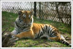 Renewed commitment and effort required – now to save Tigers  ***Halt tiger poaching and the illegal trade in tiger parts  ****Increase wild tiger numbers  ****Protect tiger habitat
